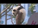В Макао празднуют год со дня рождения бамбуковых панд-близнецов Цзяньцзяня и Канкана