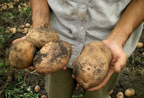 Картошка технология выращивания 55