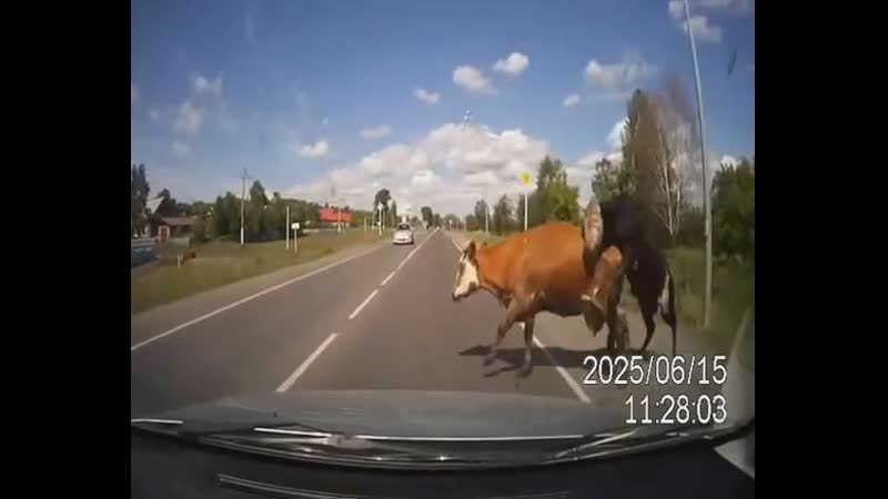 Сбил двух ебущихся коров