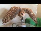 Амбарная сова(сипуха) Сипа Barn owl