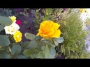 Посадка Роз под Бутылку Размножение и Уход за Розами Летом
