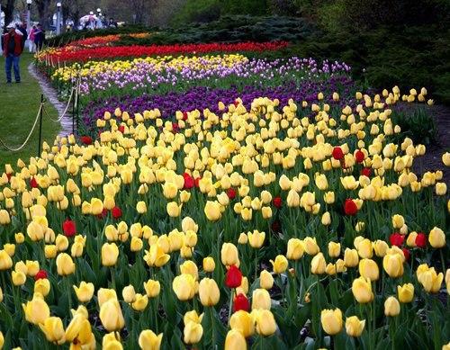 фестиваль тюльпанів канада