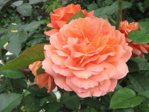 Как правильно посадить розы новичкам.