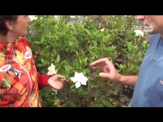 Красивые комнатные цветы Гардения Форчуна Коллекция Сергея Маринкова mp4