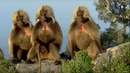 Defending a Monkey Harem Clever Monkeys BBC Earth