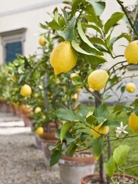 хотите лимон дома не все сорта лимонов можно выращивать в комнате. лучше всего для комнатной культуры подходят: лимон павловский, лимон мейера, новогрузинский, дженоа, майкопский. чаще в