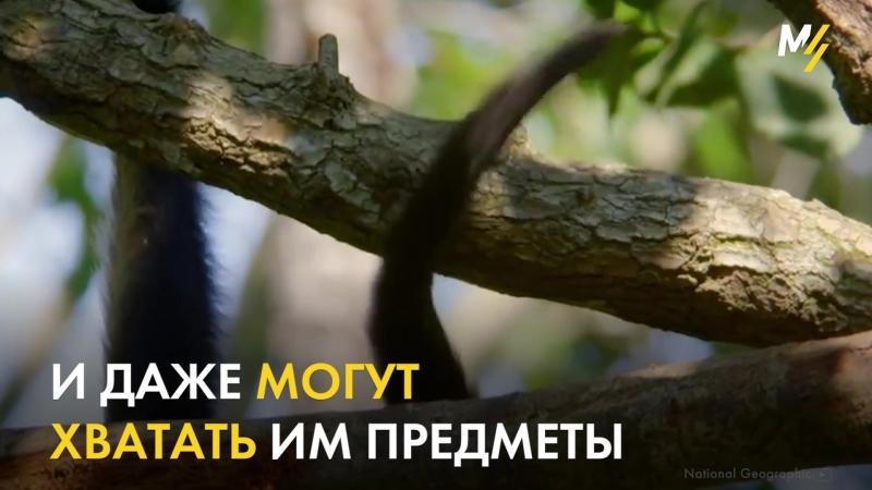 Удивительная обезьяна-паук