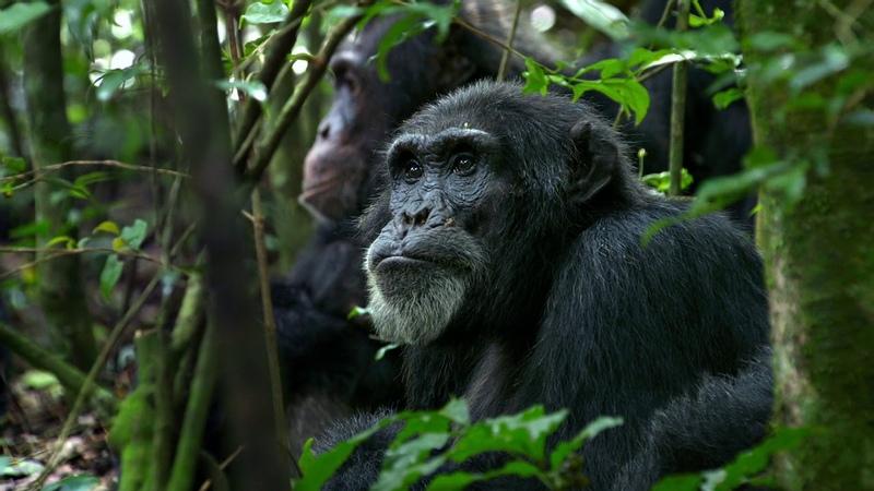 Chimpanzee 2012 BDRip1080pKillbrain