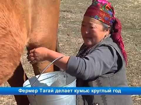 Фермер Тагай байке делает кумыс круглый год