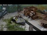 Ох уж эти глупенькие панды