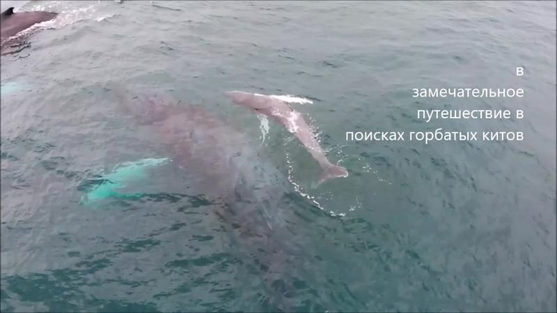 Горбатые киты в Тихом океане Коста Рики и Панамы