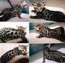 characteristics of bengal kittens