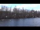 22.04.2018 .Санкт-Петербург. Весеннее оживление на реке Глухарка. Видео Н.Кутиковой