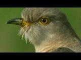 BBC: Мир природы. Кукушка (2009)