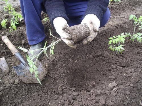высаживание рассады помидор и сроки высаживания в теплицу; подготовка рассады томаты к высадке на грядку начинают готовить за 2-3 недели. вначале уменьшают поливы и увеличивают проветривание. на