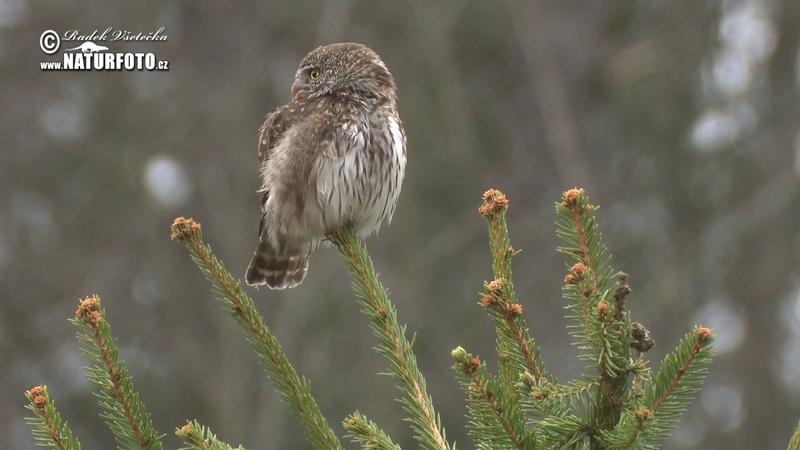 Kulíšek nejmenší - (Glaucidium passerinum) - Eurasian Pygmy Owl - Sperlingskauz