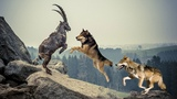 Pack Of Wolves Hunting Mountain Goat Mountain Goat Failed To Protect Fellow