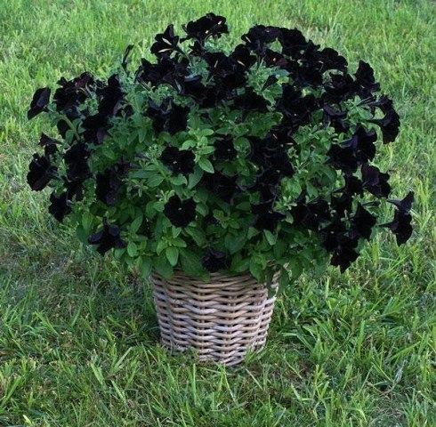 Петуния Черный бархат (Blac Velvet) В 2011 г. был представлен новый сорт петунии - Черный бархат. До появления Blac Velvet петунии c действительно черными цветами не существовало. Все