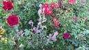Компаньоны роз: Физостегия