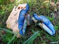 """Из  """"нестандартных """" грибов можно выделить паутинник фиолетовый, синяк (Гиропор синеющий, березовый) - очень редок..."""