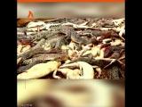 В Индонезии убили 300 крокодилов | АКУЛА
