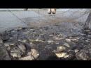 Вытянули невод на 6 тонн карпа. Облов пруда, часть 2. Карагандинский рыбопитомник