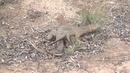 Goanna's mating