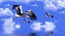 Картинка птицы. Аист, дикая природа, вода, животное, клюв, морские птицы, фауна, водяная птица