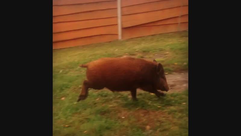 До нового 2019 года осталось 65 дней ☝️Несмотря на кажущуюся неуклюжесть свиньи 🐽неплохие бегуны Взрослая свинья 🐷 способ