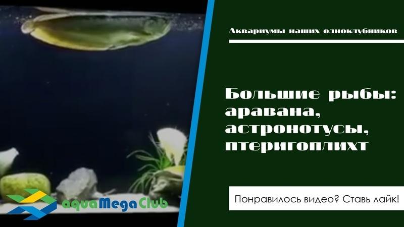 Большие рыбы (аравана, астронотусы, птеригоплихт) в аквариуме на 800 литров