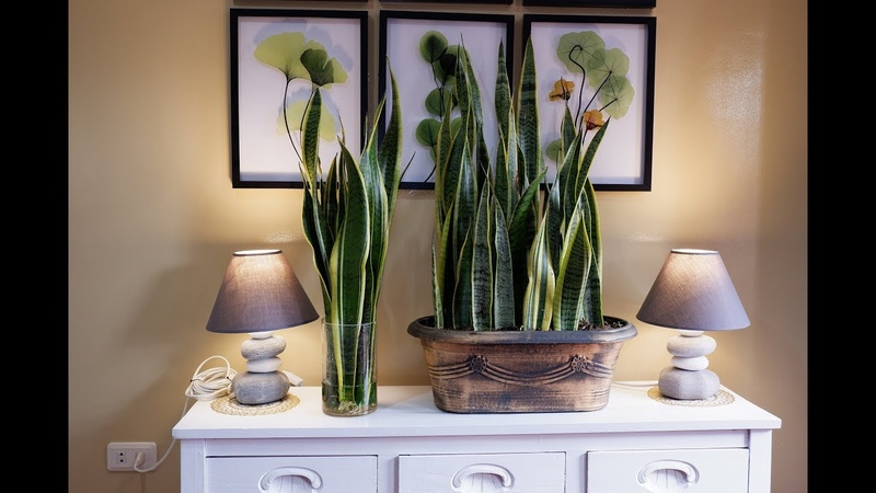 How to Care and Arrange Snake Plants in a Glass Vase and Beautiful Planter as Indoor Decoration