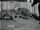 Zorans Puma 1xW vs Bela