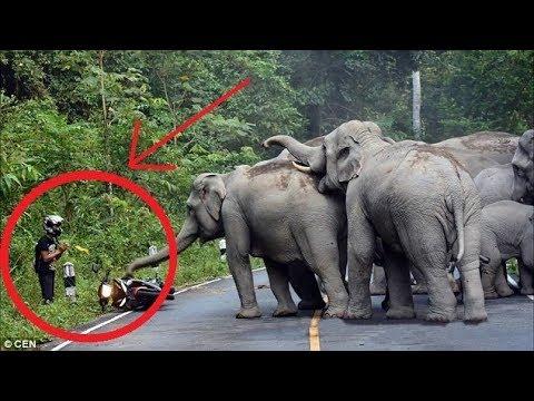 Kompilasi serangan gajah ke atas manusia