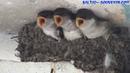 Ласточкино гнездо. 7 неделя / Swallow's Nest, Nestling, 7 week