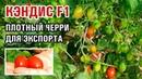КЭНДИС F1 ПЛОТНЫЕ ТОМАТЫ ЧЕРРИ ДЛЯ ЭКСПОРТА 01 10 2018