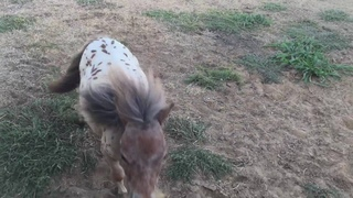 Itty Bitty Hope still enjoys her zoomies! Even as a therapy horse she lives & plays with the herd.