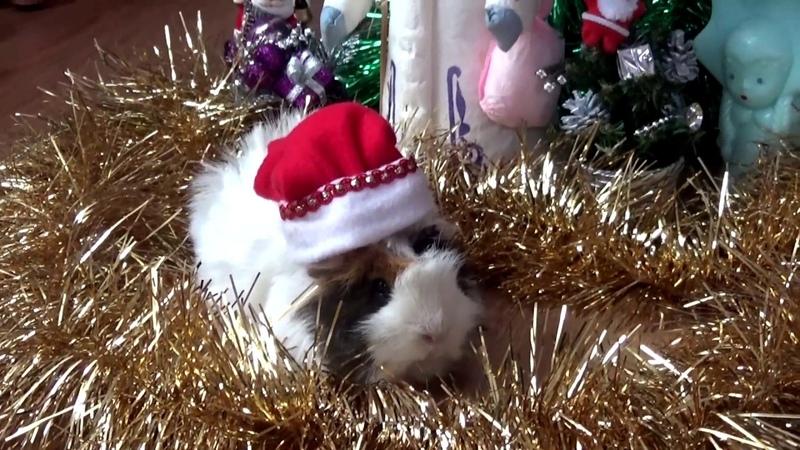 Guinea pig undre the Christmas tree. PIGMAS!