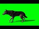 черный волк зеленый экран walking wolf green screen