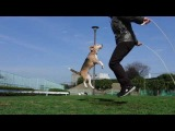Бигль прыгает через скакалку вместе с хозяином