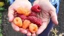 Новейшие сорта ремонтантной малины Секреты селекции новых сортов