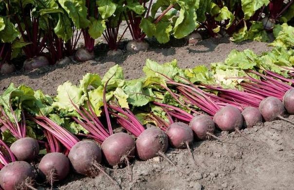 За последние годы мы полностью изменили свой огород, стали выращивать овощи по органической технологии. Результат очень порадовал урожайность овощей выросла, качество и лежкость превзошли все