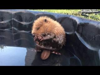 Маленький сирота бобёр и его непослушный хвост / Baby Beaver Patient at AIWC (July 2016)