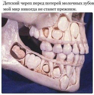 перед потерей молочных зубов Детский череп перед потерей молочных зубов