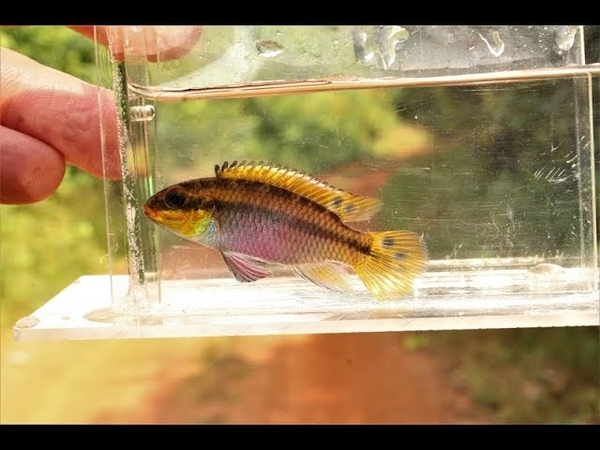 Pelvicachromis pulcher and P kribensis in a tributary of the Wouri Estuary Cameroon