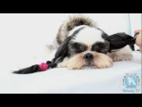 Groom Tv Br - Tosa Bebê Japonesa ( Korean Puppy Clip) - Johnatan Skolimoski - Full HD #69