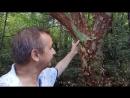 Удивительные деревья Живая история Наши путешествия