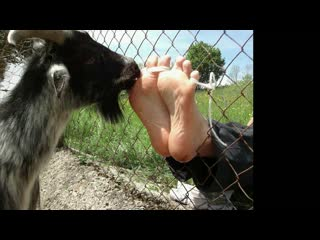 a goat is licking and tickling my male feet