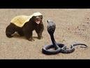 ВЕРСУС. Медоед против змеи, львов. Лучшая атака и защита Медоеда 2018. Видео диких животных