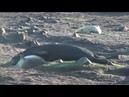 Grey seal cannibalism