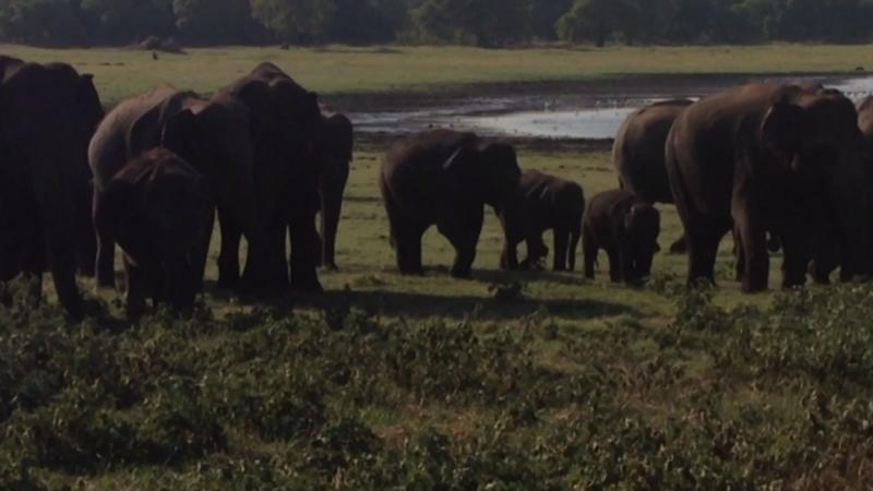 Дикие слоны в национальном парке Шри-Ланки.